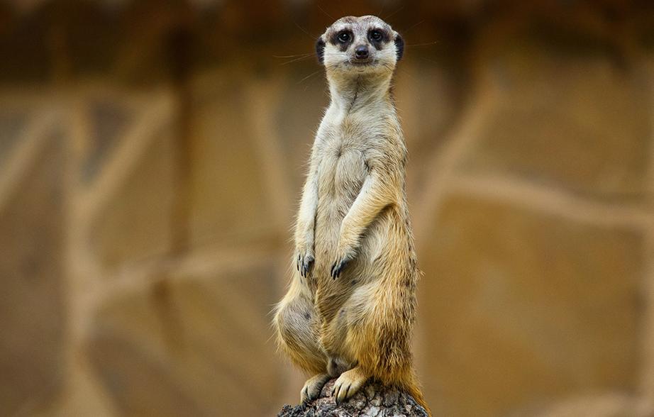 meerkat homepage
